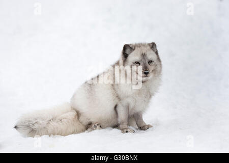 Arctic fox vixen (Vulpes lagopus), captive, Highland Wildlife Park, Kingussie, Scottish Highlands, Scotland, United - Stock Photo