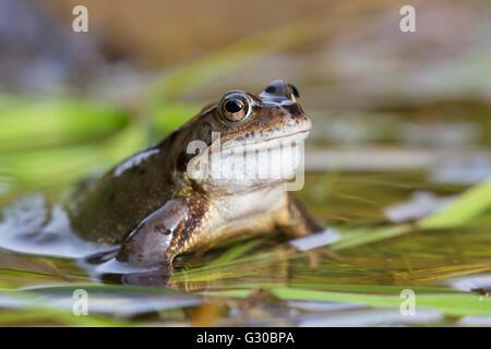 Common frog (Rana temporaria), Northumberland, England, United Kingdom, Europe - Stock Photo