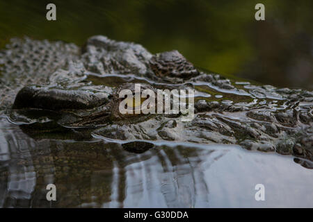 Eyes and head of the 3rd Largest captive Saltwater crocodile in the Philippines named Lapu-Lapu - Stock Photo