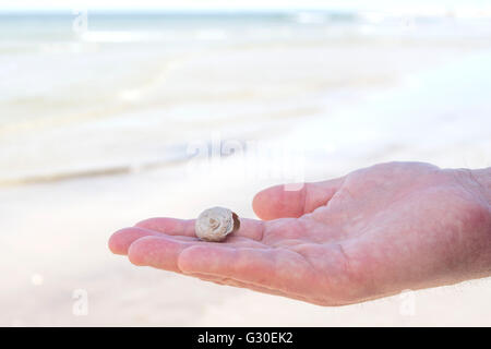 Man holding a northern moon snail shell that he found on a beach - Stock Photo