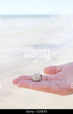 Man holding a northern moon snail shell on a beach - Stock Photo