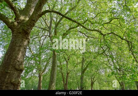 forest cover by green of the leaves stand out the slihouette of the branches and trunks - Stock Photo