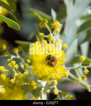 A  honey bee collects pollen from the bright yellow fragrant  fluffy  balls of Australian  Cootamundra wattle acacia - Stock Photo