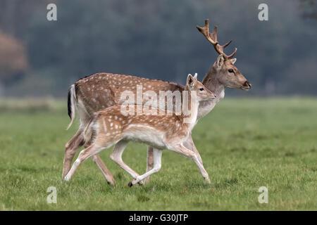 Fallow Deer - young buck and doe - Stock Photo