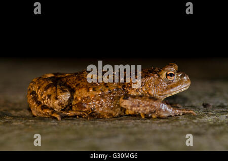 Common Toad (Bufo bufo) on migration, Abbots Leigh, North Somerset, United Kingdom - Stock Photo