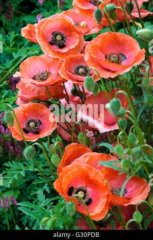 Semi-double seedlings of the ornamental annual poppy, Papaver rhoeas.