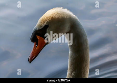 Head shot of a Swan on a sunny day on the serpentine Hyde Park London UK - Stock Photo