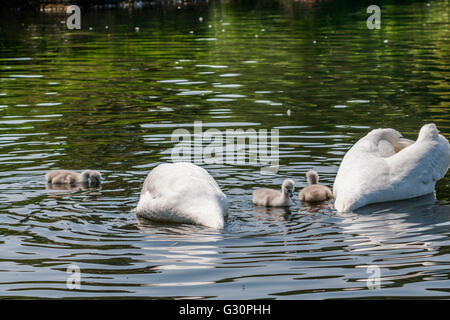 Family of swans and their Young's enjoying a sunny morning on the serpentine Hyde Park London UK - Stock Photo