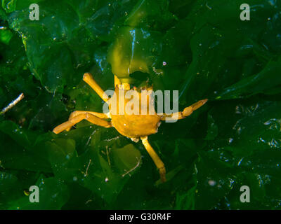Kelp crab, Pugettia producta, in Puget Sound, taken in the cold waters near Seattle. - Stock Photo