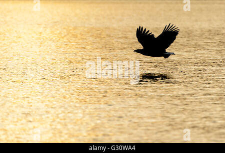 White-tailed Sea Eagle (Haliaeetus albicilla) flying over the sea at sunset, Norway. - Stock Photo