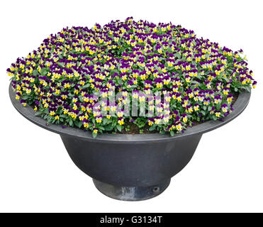 Pansies gentle yellow and blue flowers grow in an old metal steel street flowerpot. Isolated with patch - Stock Photo