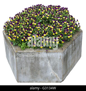 Pansies gentle yellow and blue flowers grow in an old concrete stone street flowerpot. Isolated with patch - Stock Photo
