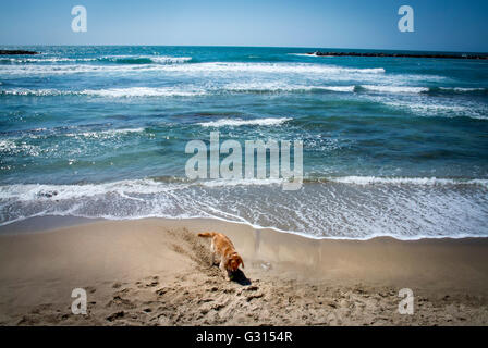 A dog digging a hole as the tide comes in at the Beach in Tel Aviv, Israel. - Stock Photo