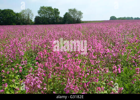 field full of red campion flowers, norfolk, england - Stock Photo