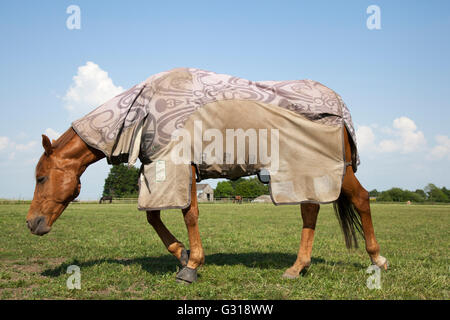UK weather; Southport Lancashire. Hot horses grazing in the paddocks, pastures & rural grassy meadows of lancashire - Stock Photo