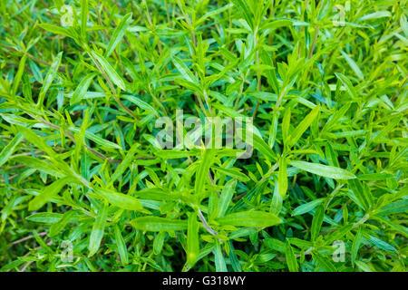 Winter Savory - Satureja montana - Stock Photo
