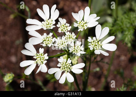 Dramatic white flower head of the hardy annual umbellifer, Orlaya grandiflora - Stock Photo