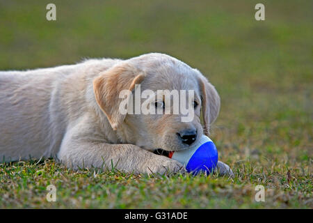 Yellow Labrador Retriever puppy in grass playing with ball - Stock Photo
