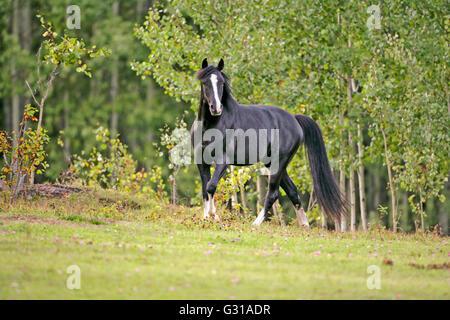 Black Arabian Stallion trotting in meadow of flowers - Stock Photo