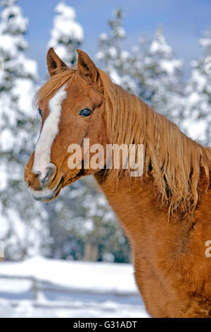 Portrait of Chestnut Arabian Stallion standing by snow covered Trees - Stock Photo