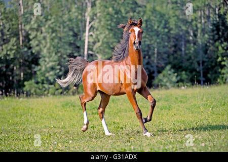 Bay Arabian Colt trotting in meadow - Stock Photo