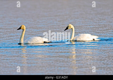 Tundra Swan with young adult swimming on Lake (Cygnus Columbianus) - Stock Photo