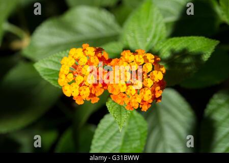 Closeup of two orange flowers of Lantana camara, known as tickberry and wild sage - Stock Photo