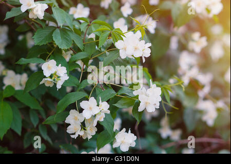 White jasmine flowers on a tree in the park - Stock Photo