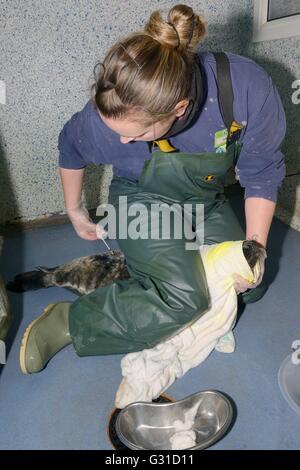 Injured Grey seal pup (Halichoerus grypus) injected with antibiotics, Cornish Seal Sanctuary Hospital, Gweek, Cornwall, - Stock Photo