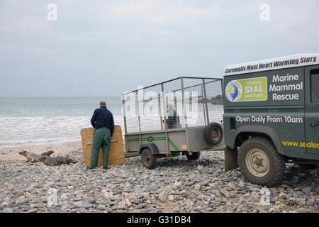 Rescued Grey seal pups (Halichoerus grypus) heading for the sea on release day, after treatment at the Cornish Seal - Stock Photo