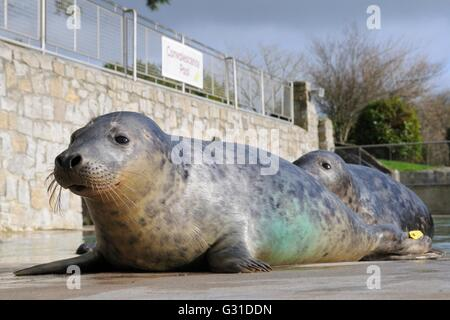Rescued Grey seal pups (Halichoerus grypus) resting around a convalescence pool at the Cornish Seal Sanctuary. - Stock Photo