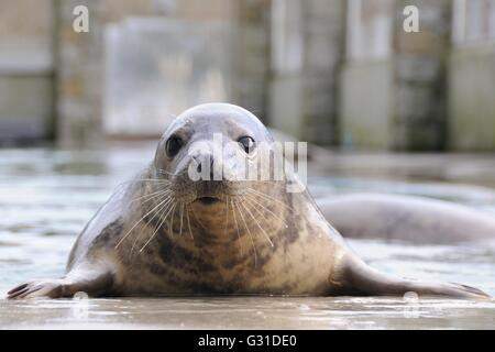 Inquisitive rescued Grey seal pup (Halichoerus grypus) in a convalescence pool at the Cornish Seal Sanctuary. - Stock Photo