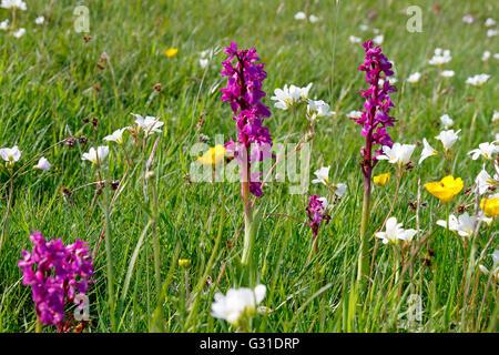 Early purple orchids, Cressbrook Dale, Peak District National Park, Derbyshire, England, UK. - Stock Photo