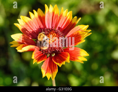Gaillardia flower with bumble bee in the garden on green background. Close-up - Stock Photo