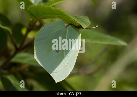 Camouglaged sp. Gonepteryx cleopatra (Pieridae family) butterfly hang under a green leaf. Lemnos island, Greece. - Stock Photo