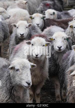 Herdwick ewes gathered in the farmyard - Stock Photo