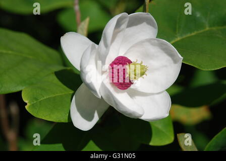 Magnolia flower in close up view - Stock Photo