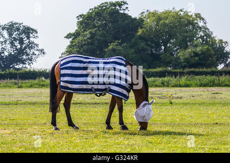 Southport, Lancashire, UK. 07th June, 2016. UK Weather. Hot horses grazing in the paddocks, pastures & rural grassy - Stock Photo