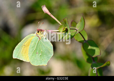 Macro of male Cleopatra butterfly (Gonepteryx cleopatra) feeding on flower viewed of profile - Stock Photo