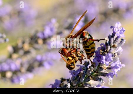 Macro of European hornet (Vespa crabro) eating a honey bee on lavender flower - Stock Photo