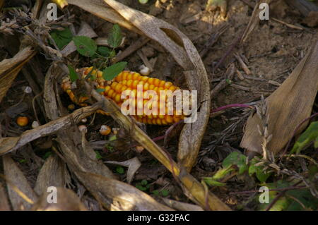Ear Of Dried Corn Lays On The Ground With Dried Corn Stalks After The Harvest - Stock Photo