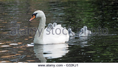 A view of a mother swan swimming and carrying her baby cygnets on her back - Stock Photo