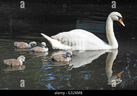 A view of a mother swan swimming with her baby cygnets alongside - Stock Photo
