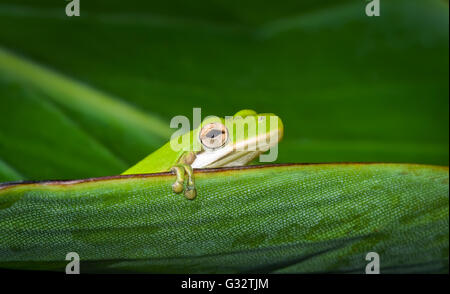 American green tree frog (Hyla cinerea) sitting on leaf, Florida, America, USA - Stock Photo