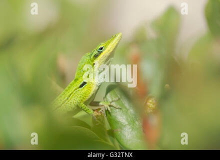 Florida green anole lizard (Anolis carolinensis) doing courtship display, Florida, America, USA - Stock Photo