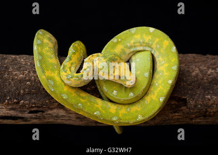 Constrictor snake on branch, Jember, east Java, Indonesia - Stock Photo