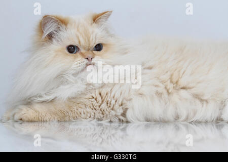 Red Colour Point Persian lying down - Stock Photo