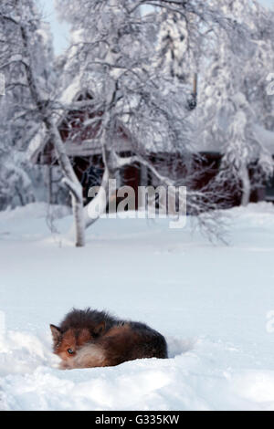 ?k skero, Finland, Siberian Husky is rolled in the snow - Stock Photo
