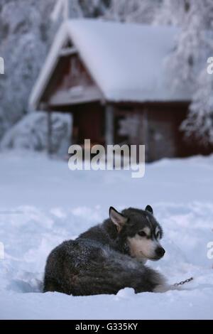 ?k skero, Finland, Siberian Husky lying in the snow - Stock Photo