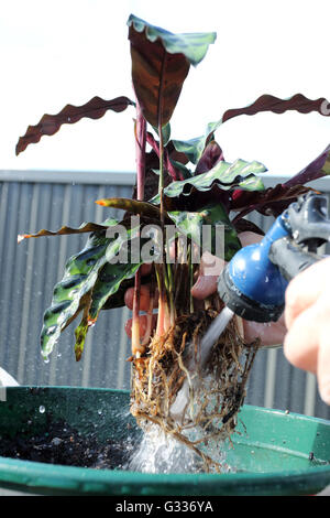 Washing off the roots of Calathea insignis or Calathea lancifolia  also known as Rattlesnake Plant - Stock Photo